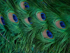 peacock_art_by_cheshirefrog-d3iti3l